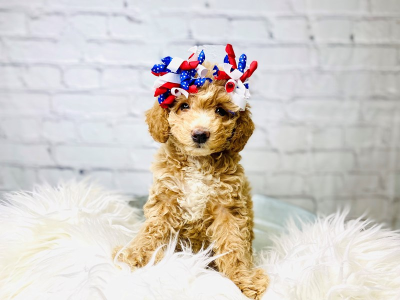 Poodle-Female-Apricot-3205092-The Barking Boutique