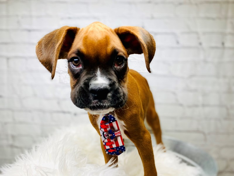 Boxer-Male-Fawn-3183419-The Barking Boutique