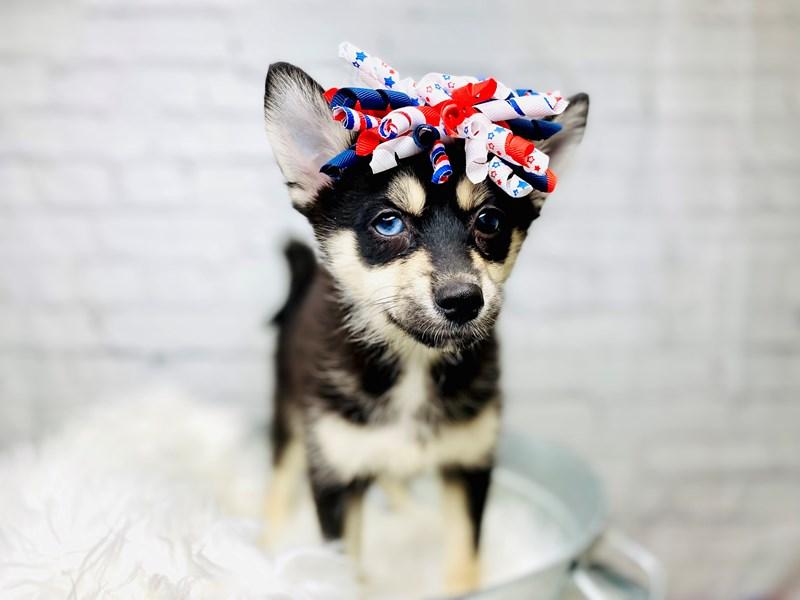 Pomsky-Female--3155073-The Barking Boutique