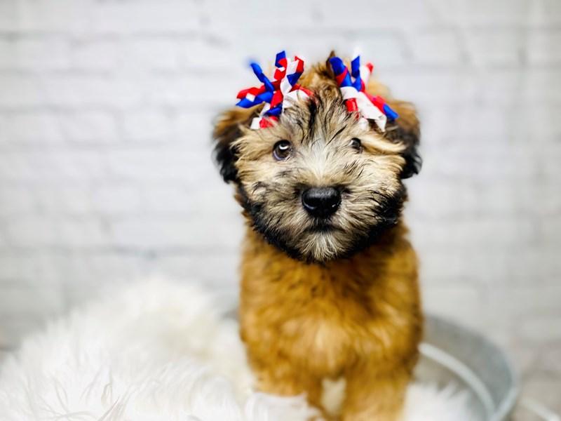 Soft Coated Wheaten Terrier-Female-Wheaten-3168204-The Barking Boutique