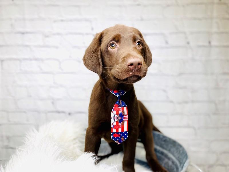 Labrador Retriever-Male-Chocolate-3174267-The Barking Boutique