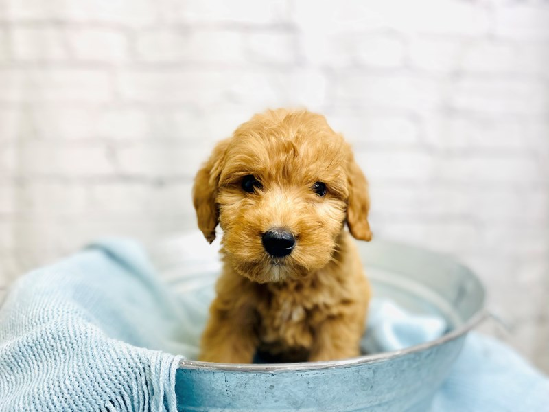 Goldendoodle-Female-Apricot-3211305-The Barking Boutique