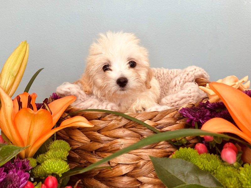 Havanese-Male-White-3214896-The Barking Boutique