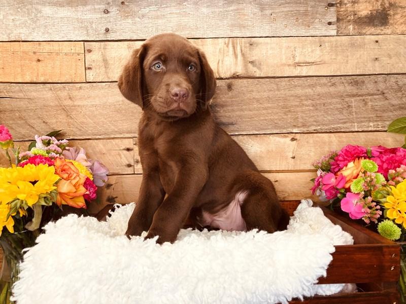 Labrador Retriever-Male-Chocolate-3225192-The Barking Boutique