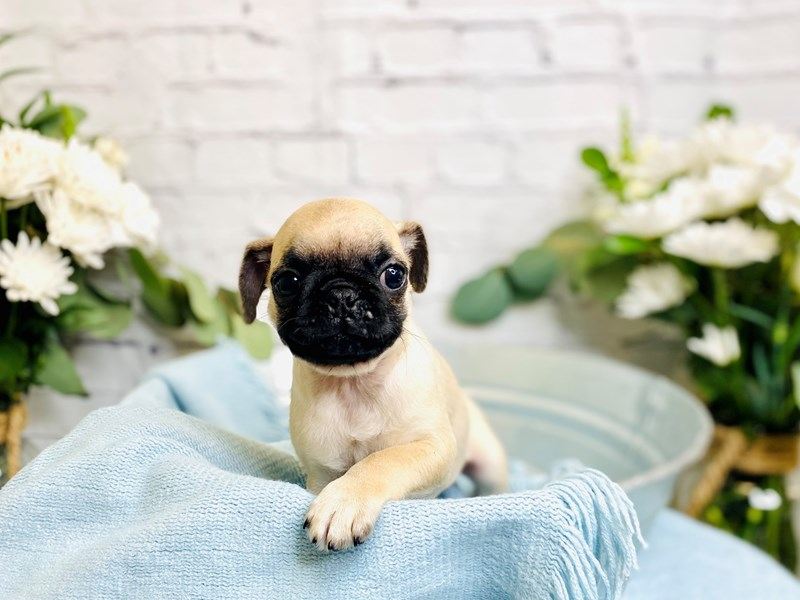 Pug-Male-Fawn-3233990-The Barking Boutique