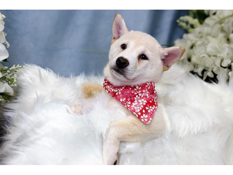 Shiba Inu-Female-Cream-3239687-The Barking Boutique