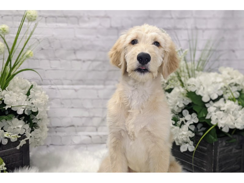 Goldendoodle-Male-Cream-3173780-The Barking Boutique