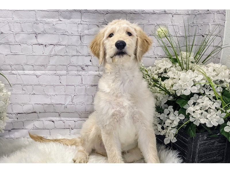 Goldendoodle-Male-Cream-3173770-The Barking Boutique