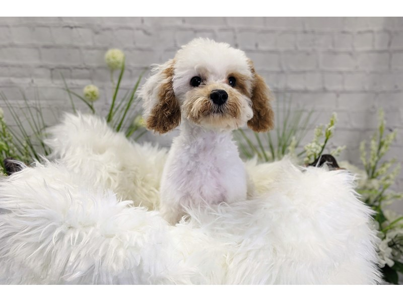 F1b Cavapoo-Male-Red and White-3192458-The Barking Boutique
