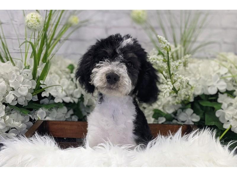 F1B Mini Bernadoodle-Female-Tri-color-3192545-The Barking Boutique