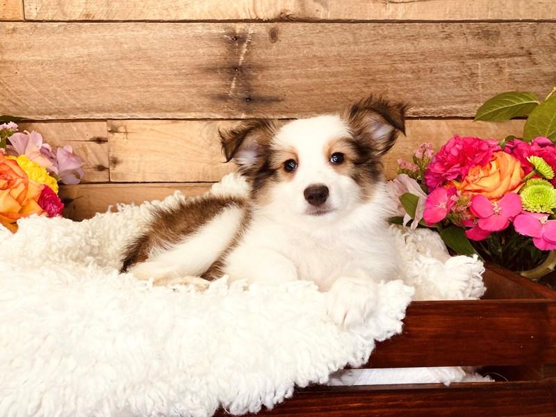 Shetland Sheepdog-Male-Sable / White-3225213-The Barking Boutique