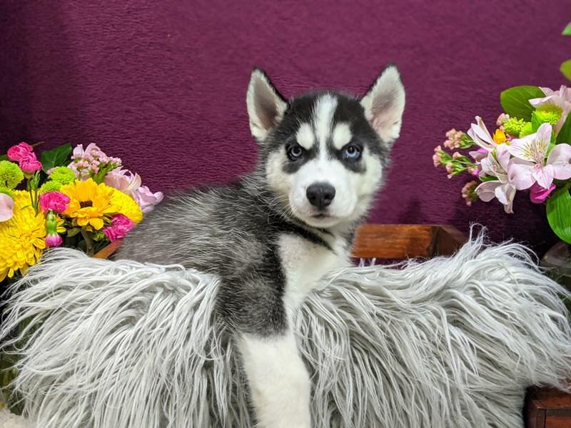 Siberian Husky-Male-Black / White-3233984-The Barking Boutique