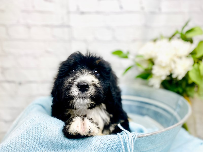 Bernedoodle-Male-Tri-3239957-The Barking Boutique