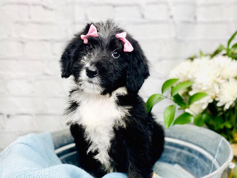 F1B Mini Bernedoodle-Female-Tri-3240089-The Barking Boutique