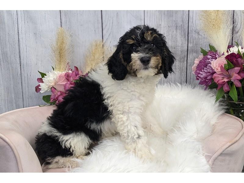 Bernedoodle-Female-Tri-3239954-The Barking Boutique