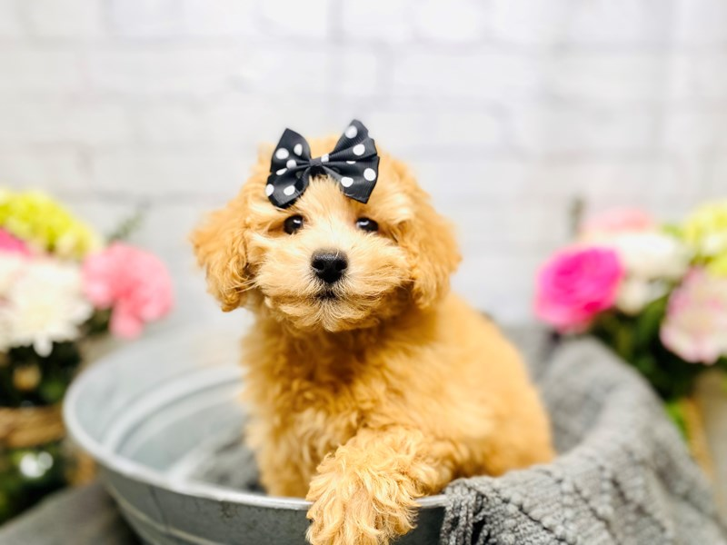 Poochon-Female-Red-3253293-The Barking Boutique