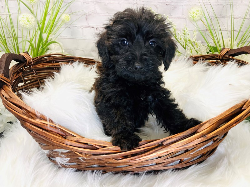 Yorkipoo-Male-Black and Brown-3259810-The Barking Boutique