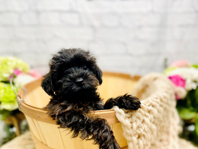 Yorkipoo-Male-Black & Brown-3259377-The Barking Boutique