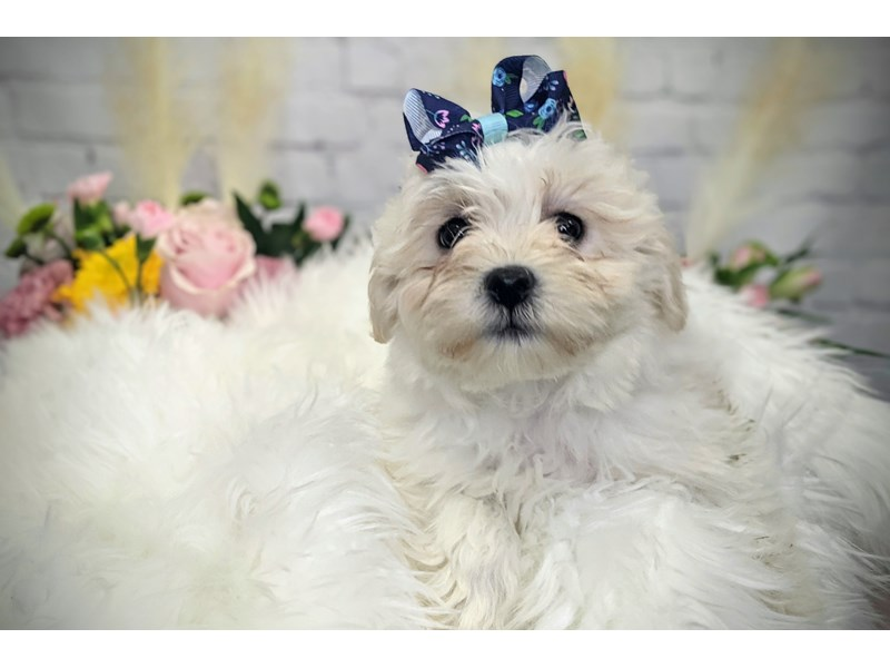Teddy Bear-Female-White-3262744-The Barking Boutique