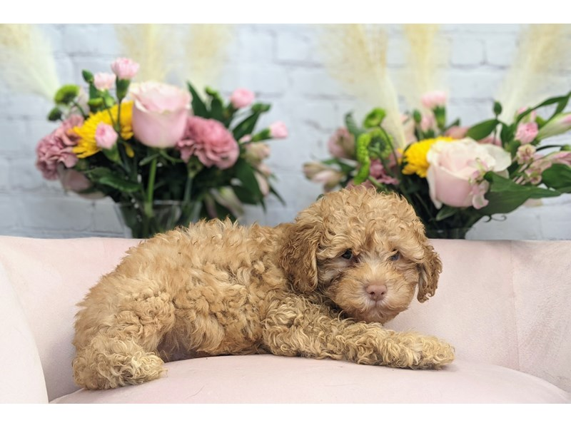 Poodle-Male-Red-3262738-The Barking Boutique