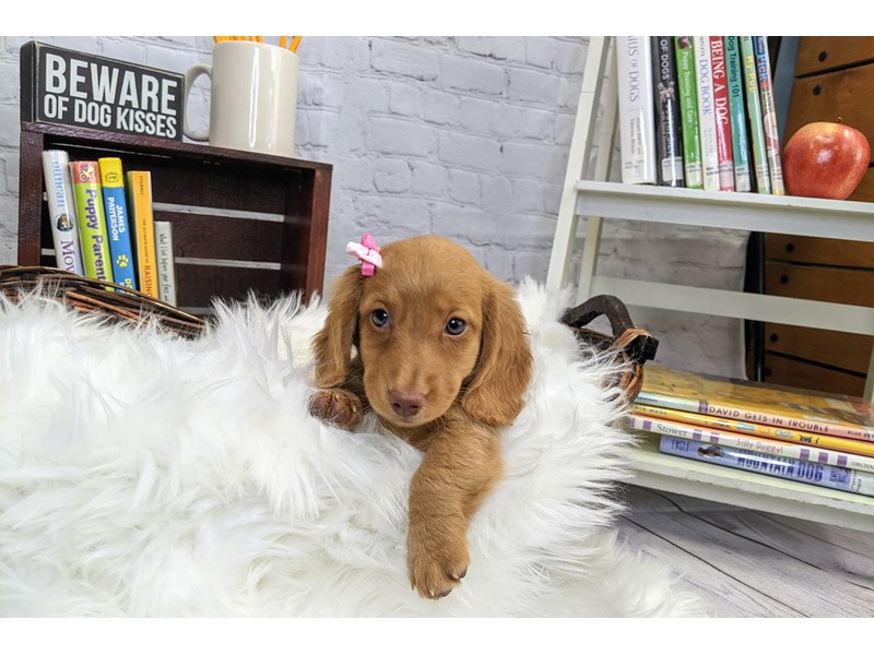 Dachshund-Female-Red-3271992-The Barking Boutique