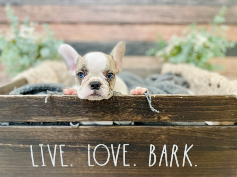 French Bulldog-Female-White-3281272-The Barking Boutique