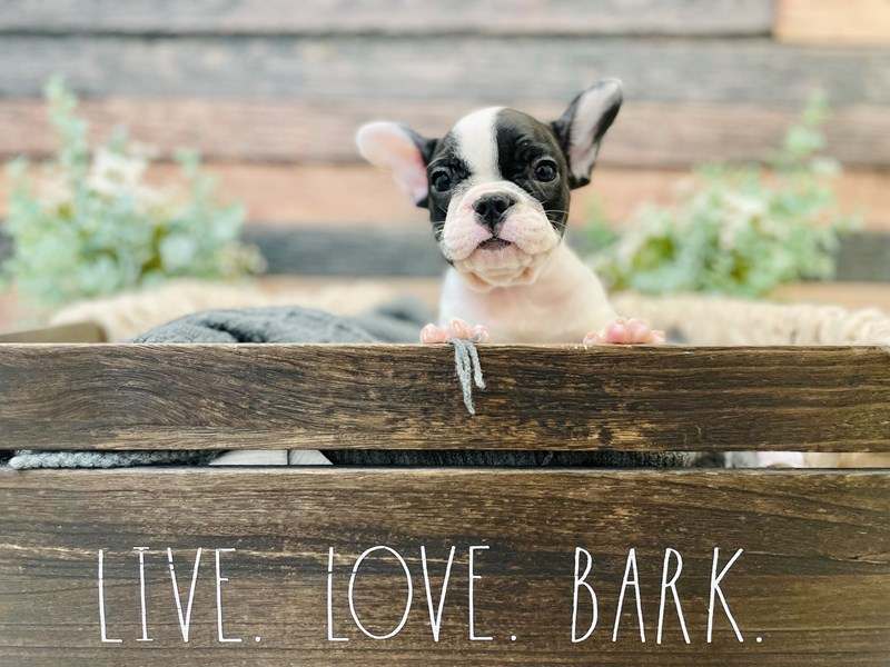 French Bulldog-Male-Blue / White-3281273-The Barking Boutique