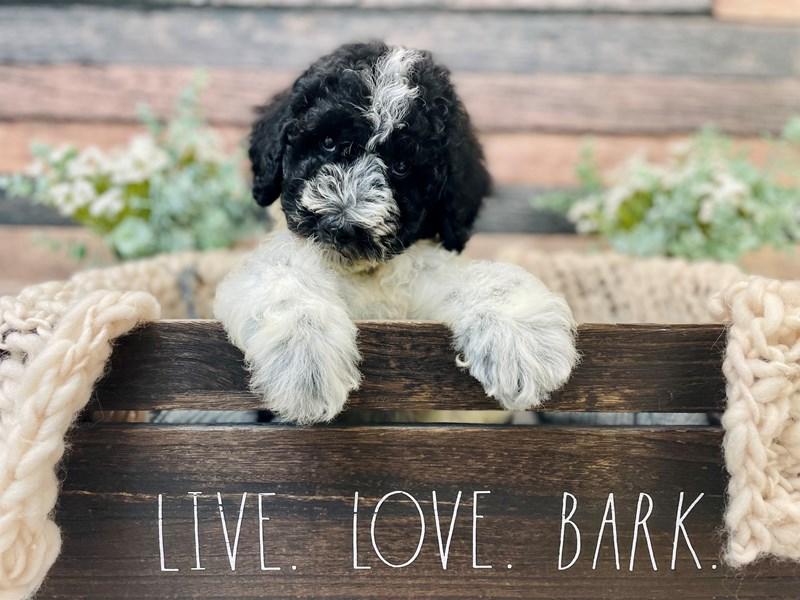 Old English Sheepdog/Poodle-Male-Black / White-3281275-The Barking Boutique