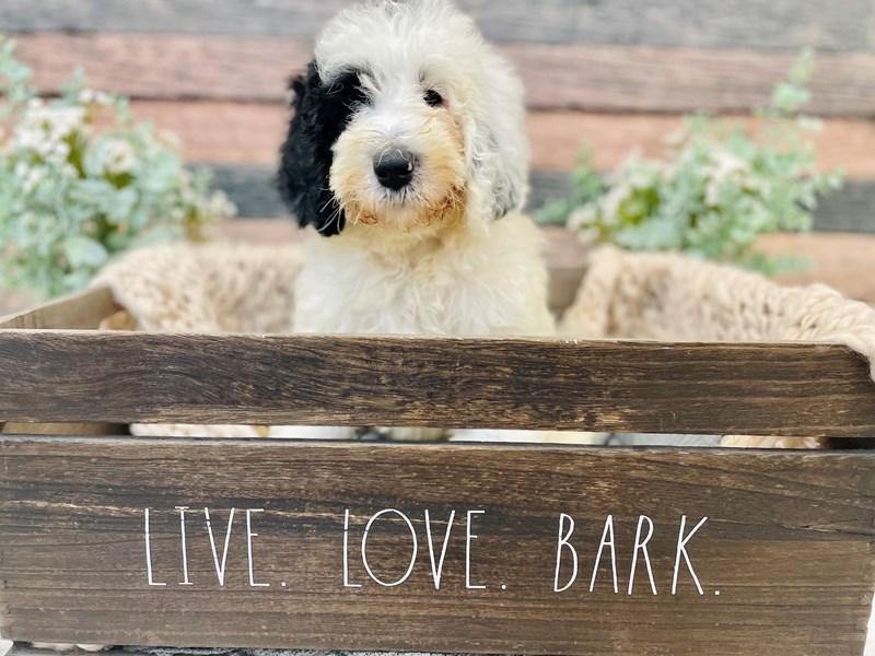 Old English Sheepdog/Poodle-Female-Black / White-3281276-The Barking Boutique