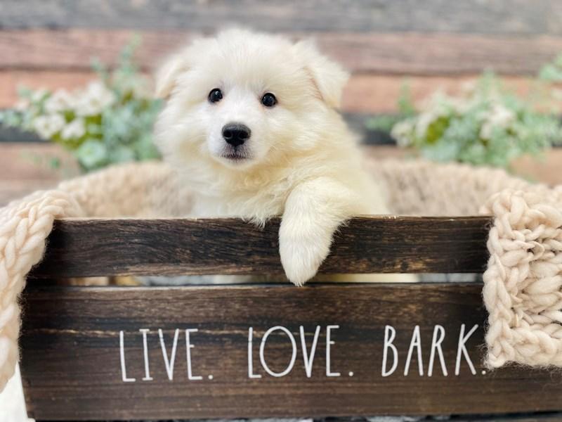 American Eskimo Dog-Male-White-3281286-The Barking Boutique