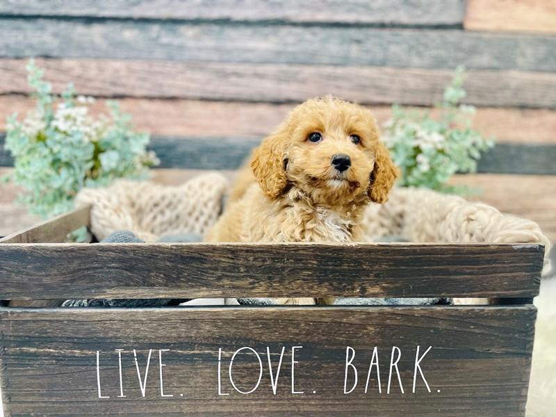 F1B Mini Goldendoodle-Female-Apct w/ white markings-3278659-The Barking Boutique