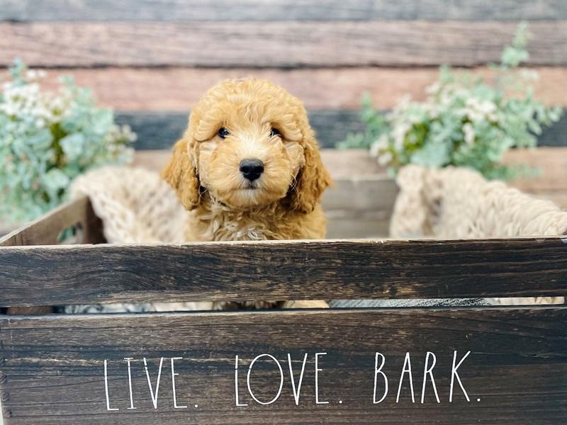 F1B Mini Goldendoodle-Female-Apct w/ white markings-3278662-The Barking Boutique
