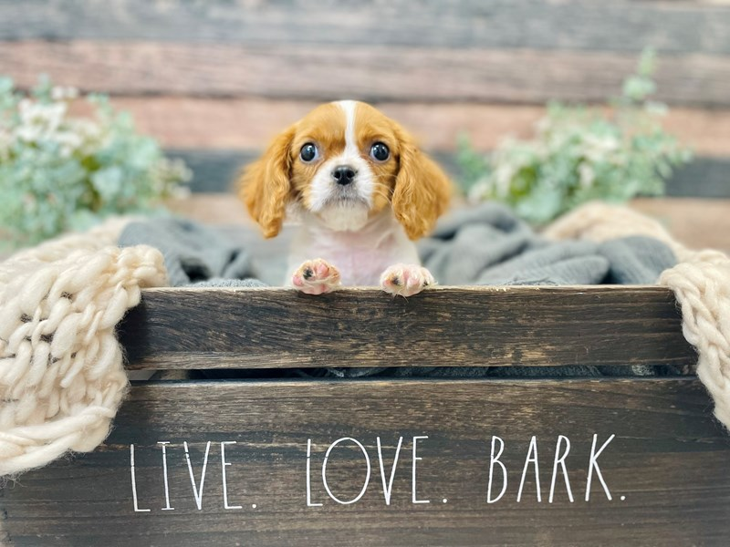 Cavalier King Charles Spaniel-Male-Bheim-3278667-The Barking Boutique