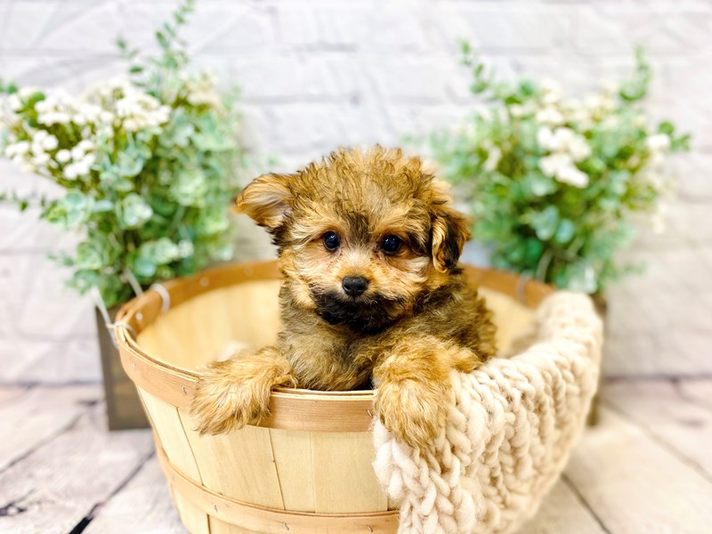 Pomapoo-Male-Brown-3287767-The Barking Boutique