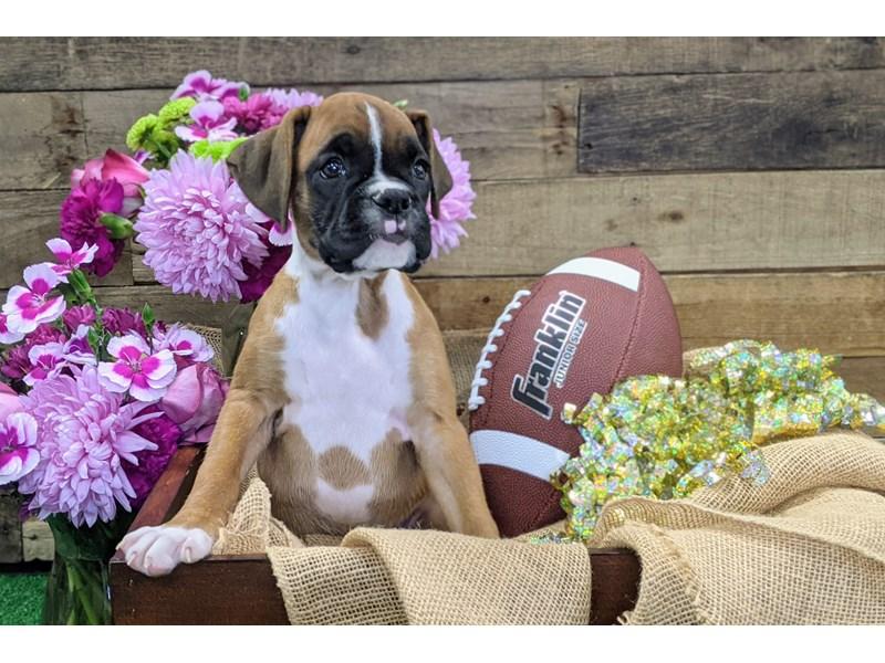 Boxer-Female-Mahogany-3290147-The Barking Boutique