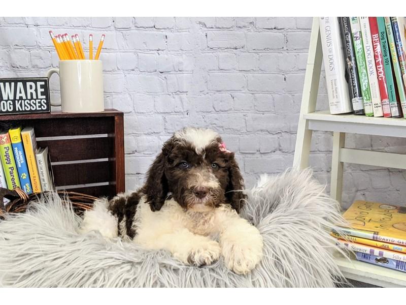Old English Sheepdog/Poodle-Female-Chocolate / White-3271991-The Barking Boutique