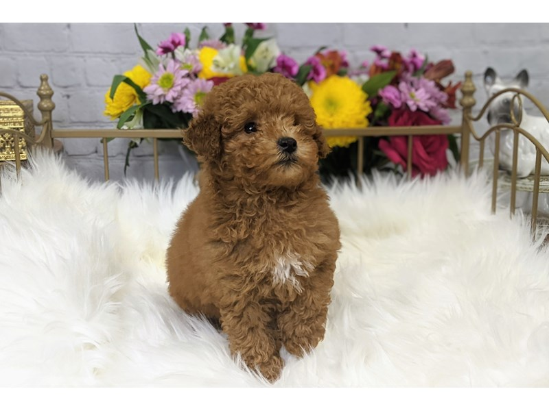 Poodle-Male-Red / White-3299209-The Barking Boutique