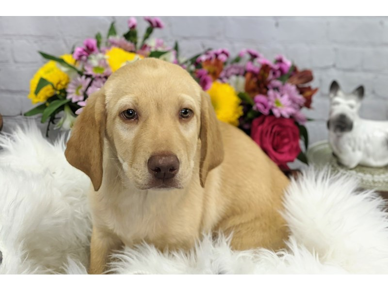 Labrador Retriever-Female-Yellow-3299215-The Barking Boutique