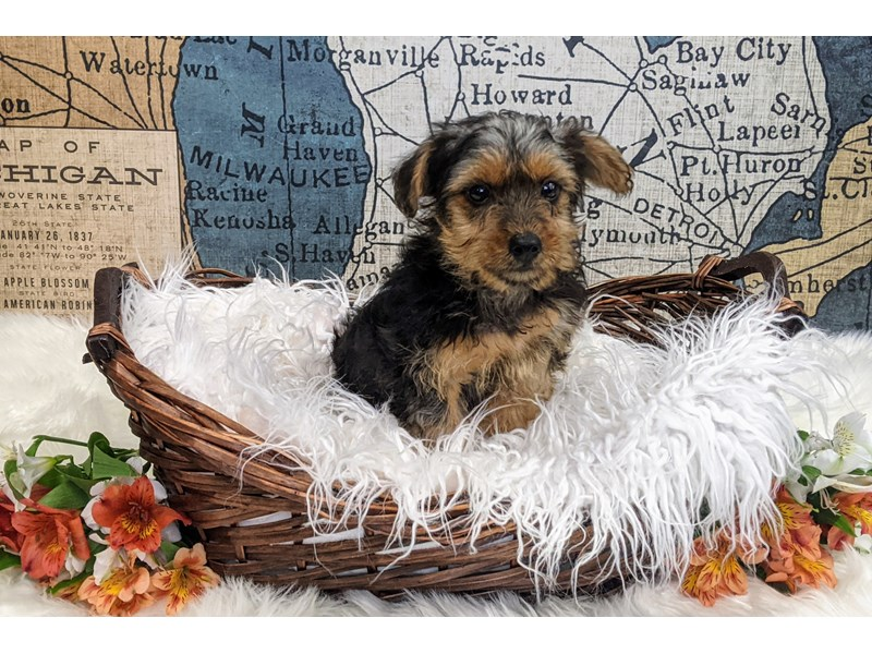 Yorkshire Terrier-Male-Black and Tan-3306183-The Barking Boutique