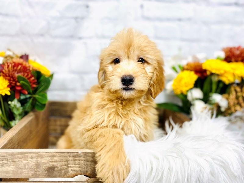 Mini Goldendoodle-Male-Apct-3306361-The Barking Boutique