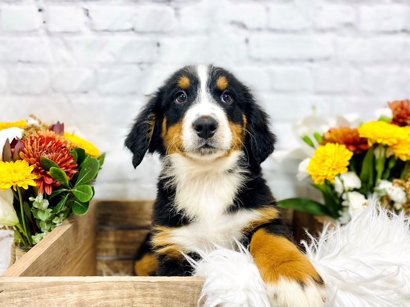 Bernese Mountain Dog-Male-Blk Tri-3306331-The Barking Boutique