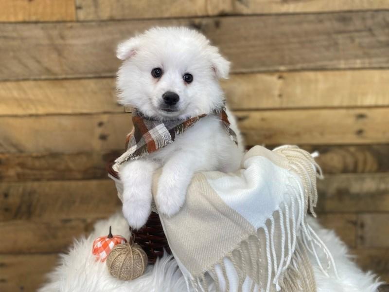 American Eskimo Dog-Male-White-3326776-The Barking Boutique