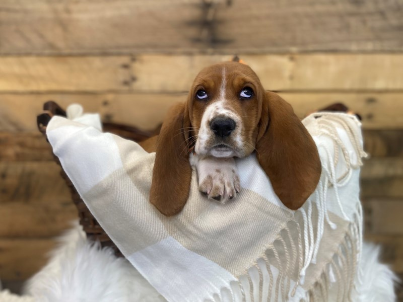 Basset Hound-Female-Red / White-3326779-The Barking Boutique